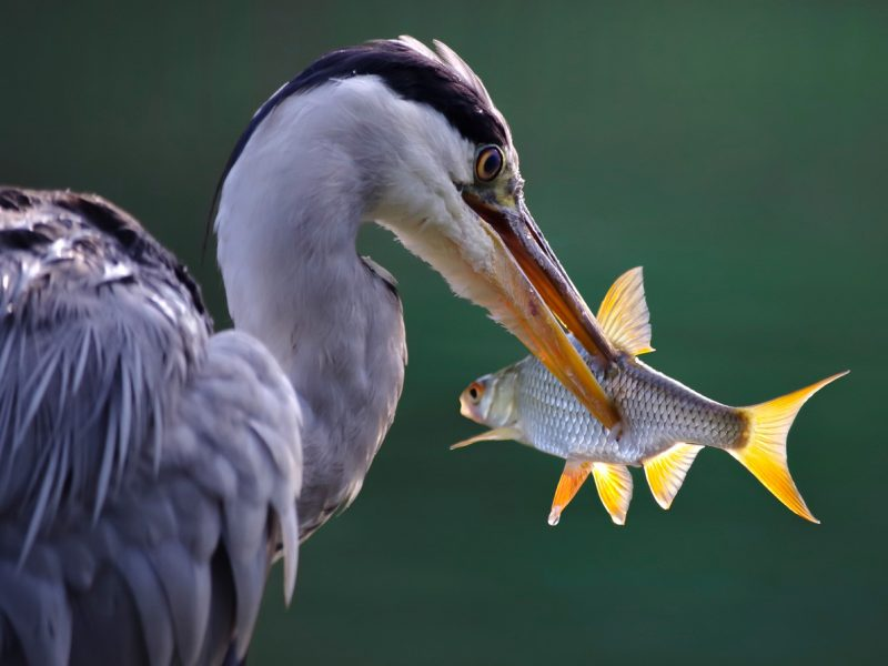 Great Blue Heron working on its catch