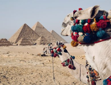 Camel's are ready to serve traveller